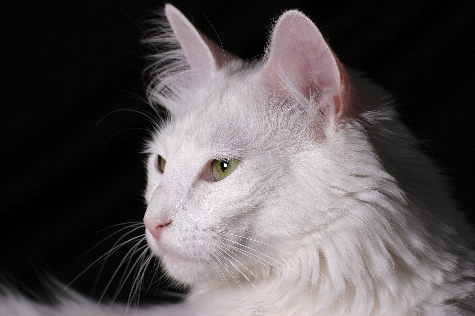 Ankara Kedisi (Turkish Angora Cat)